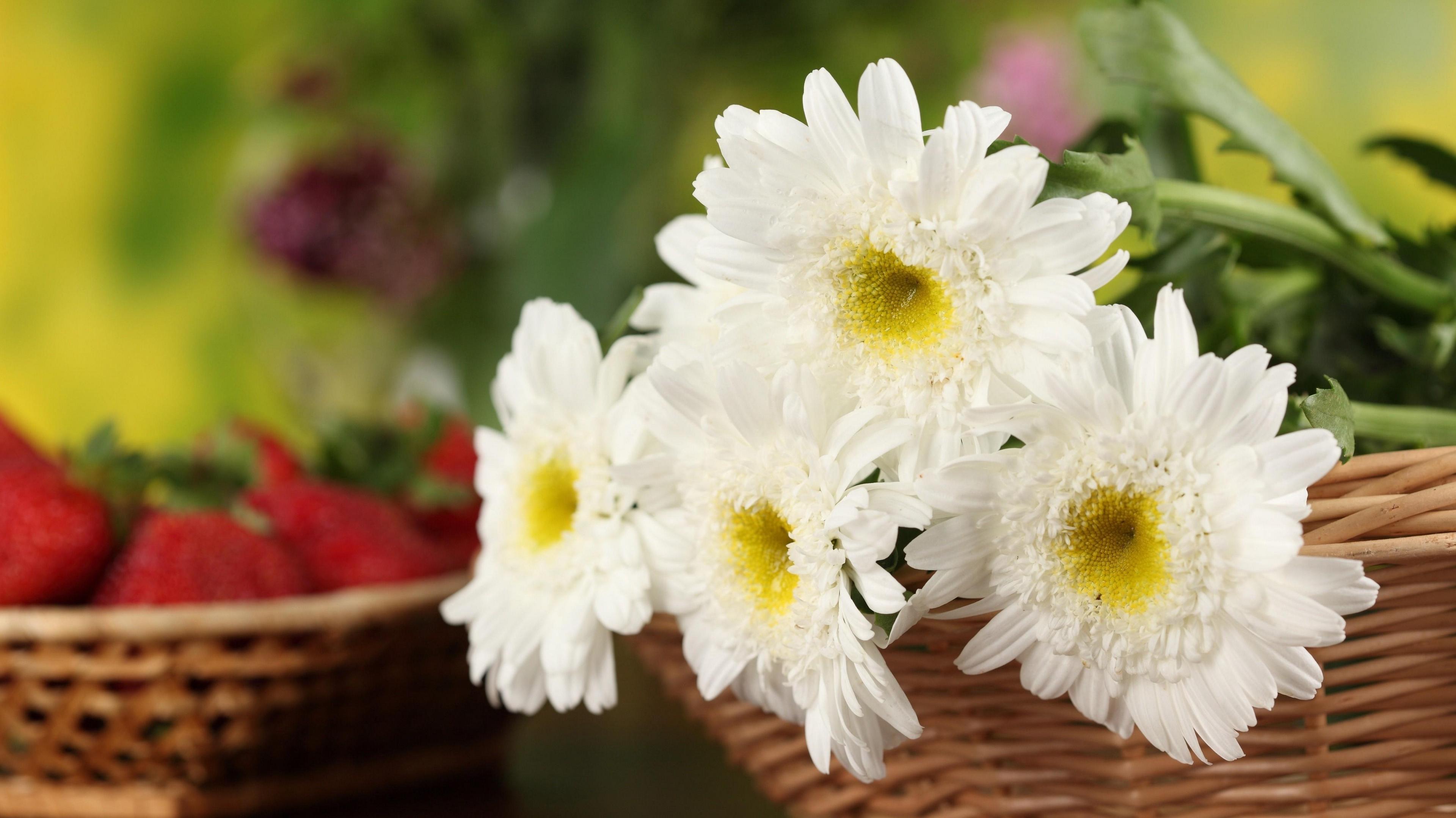 chrysanthemums flowers white basket close up 4k 1540064180 - chrysanthemums, flowers, white, basket, close-up 4k - white, Flowers, chrysanthemums
