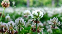 clover flowers plant 4k 1540064721 200x110 - clover, flowers, plant 4k - Plant, Flowers, Clover
