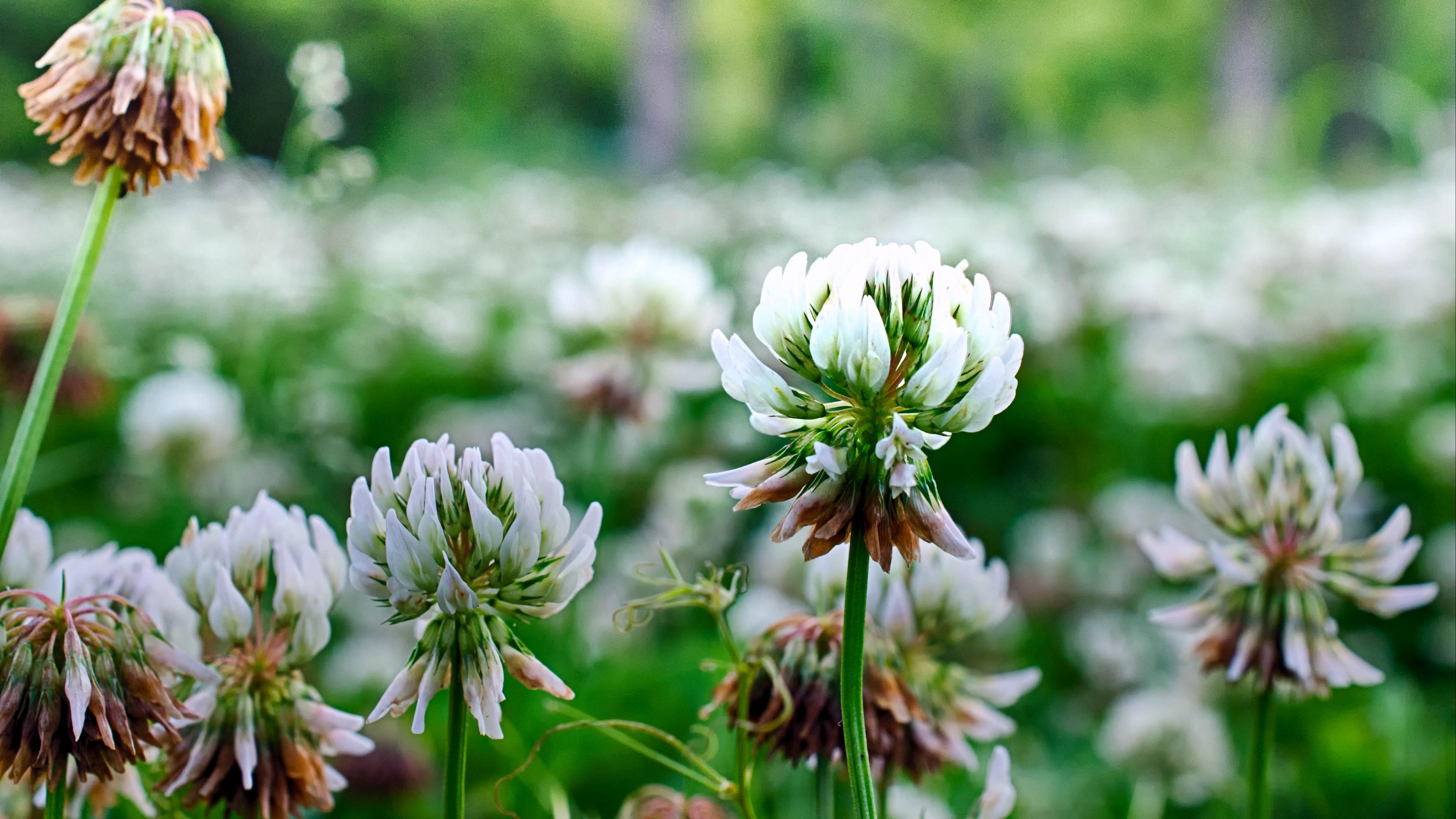 clover flowers plant 4k 1540064721 - clover, flowers, plant 4k - Plant, Flowers, Clover