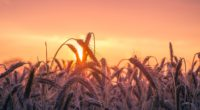cornfield sunset 4k 1540137259 200x110 - Cornfield Sunset 4k - sunset wallpapers, photography wallpapers, nature wallpapers, hd-wallpapers, field wallpapers, cornfield wallpapers, 5k wallpapers, 4k-wallpapers