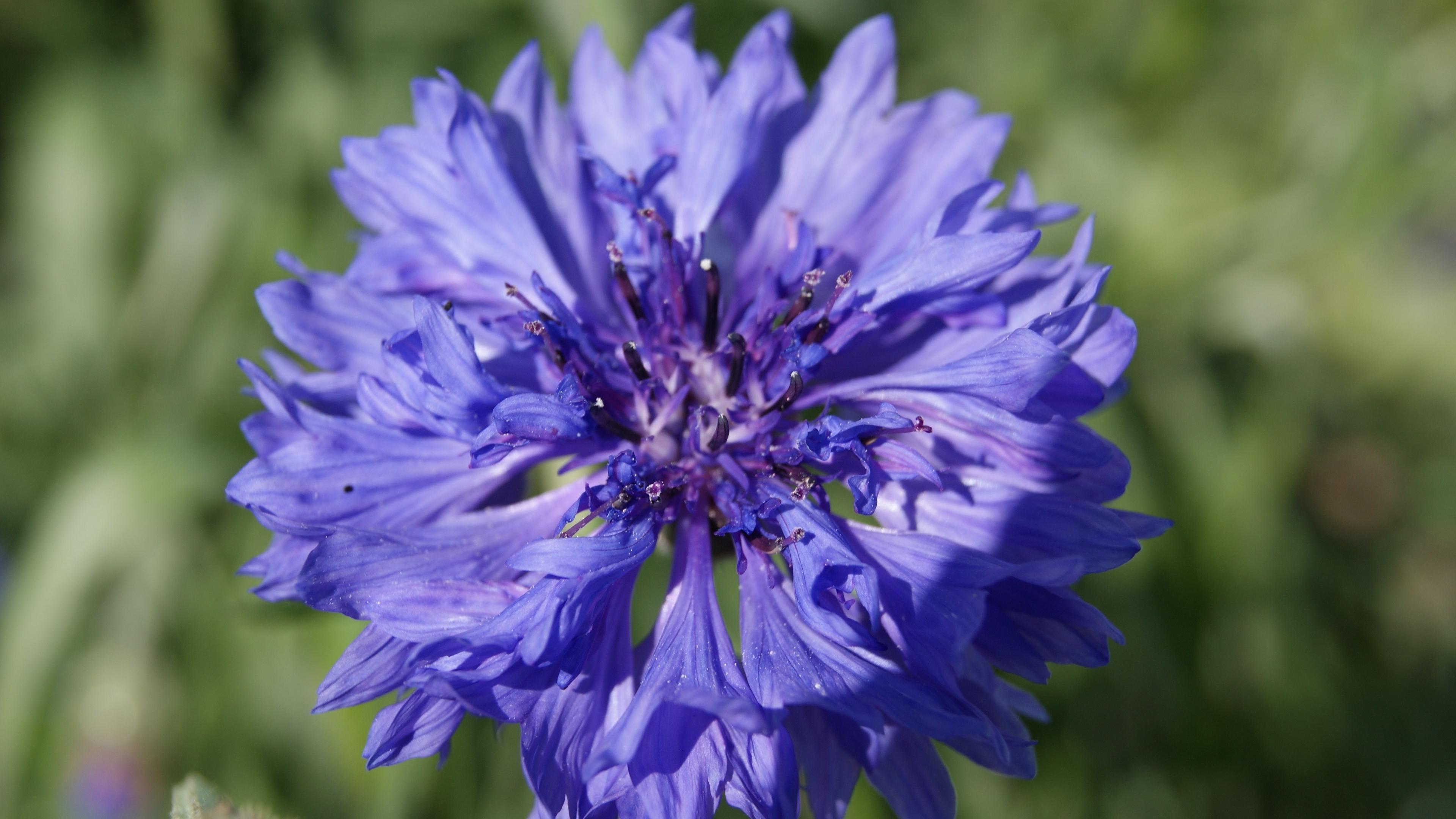cornflower flower sunny summer close up 4k 1540064301 - cornflower, flower, sunny, summer, close-up 4k - Sunny, flower, cornflower