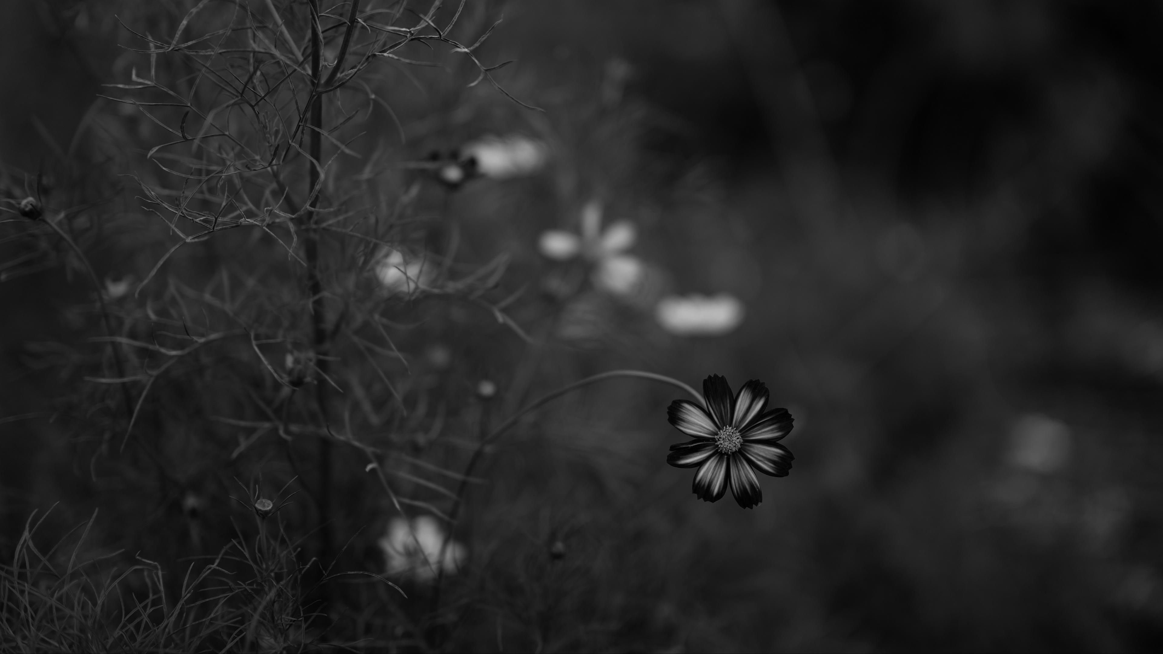 cosmos flower bw blur 4k 1540064751 - cosmos, flower, bw, blur 4k - flower, Cosmos, bw
