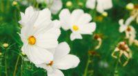 cosmos flower white field blur 4k 1540064535 200x110 - cosmos, flower, white, field, blur 4k - white, flower, Cosmos