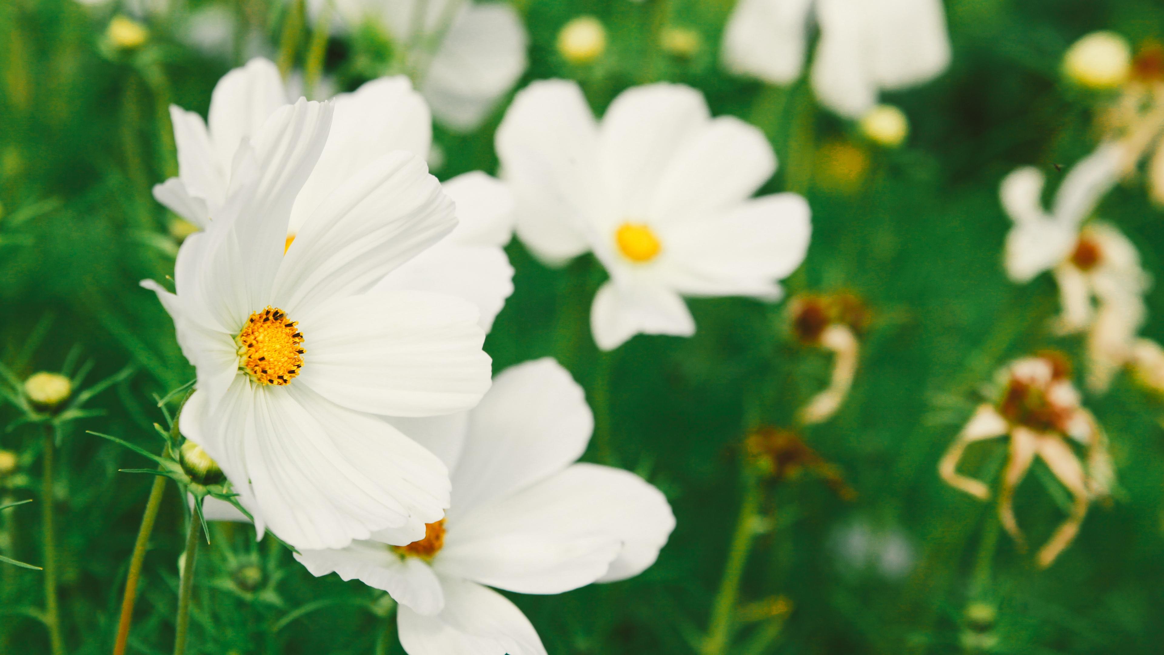 cosmos flower white field blur 4k 1540064535 - cosmos, flower, white, field, blur 4k - white, flower, Cosmos