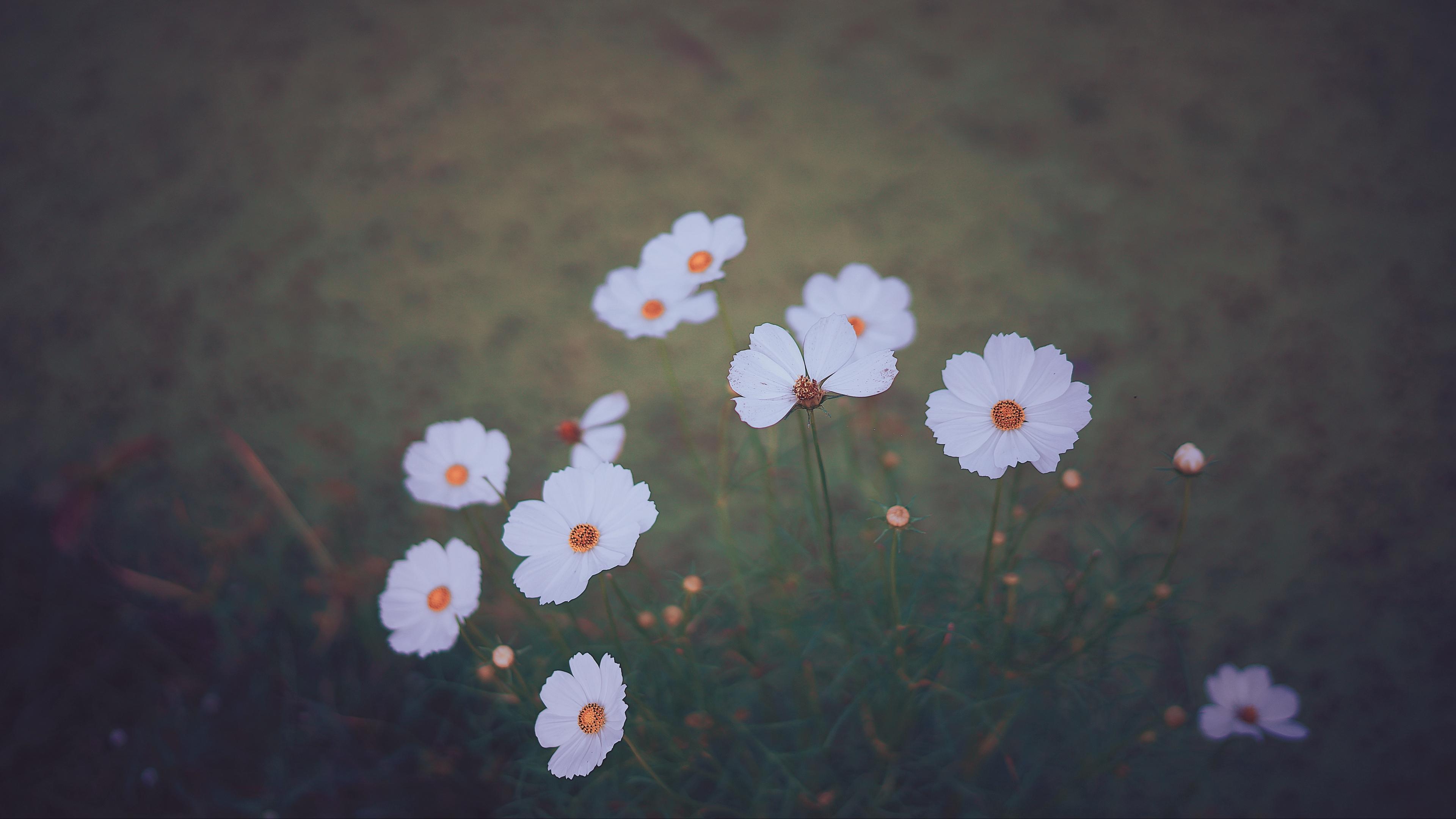 cosmos wildflowers blur 4k 1540064487 - cosmos, wildflowers, blur 4k - Wildflowers, Cosmos, Blur