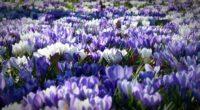 crocus garden flowers field 4k 1540064961 200x110 - crocus, garden, flowers, field 4k - Garden, Flowers, Crocus