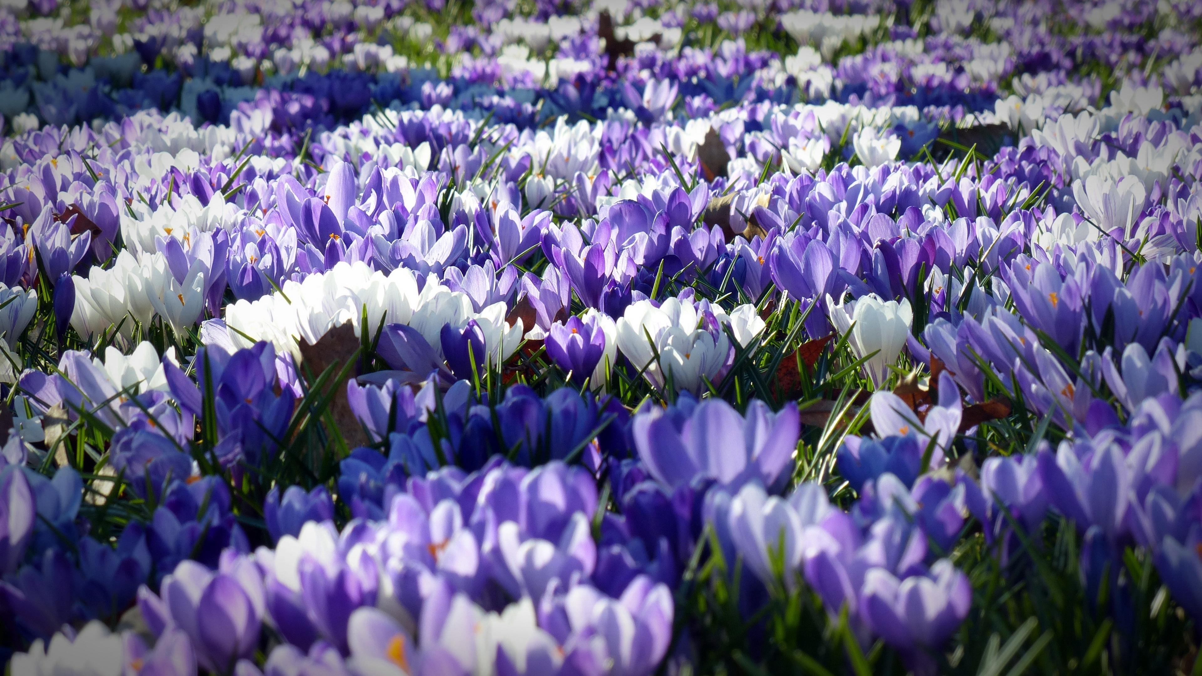crocus garden flowers field 4k 1540064961 - crocus, garden, flowers, field 4k - Garden, Flowers, Crocus