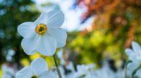 daffodil flower white petals 4k 1540064516 200x110 - daffodil, flower, white, petals 4k - white, flower, daffodil