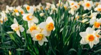 daffodils flowers flower bed 4k 1540064357 200x110 - daffodils, flowers, flower bed 4k - Flowers, flower bed, daffodils