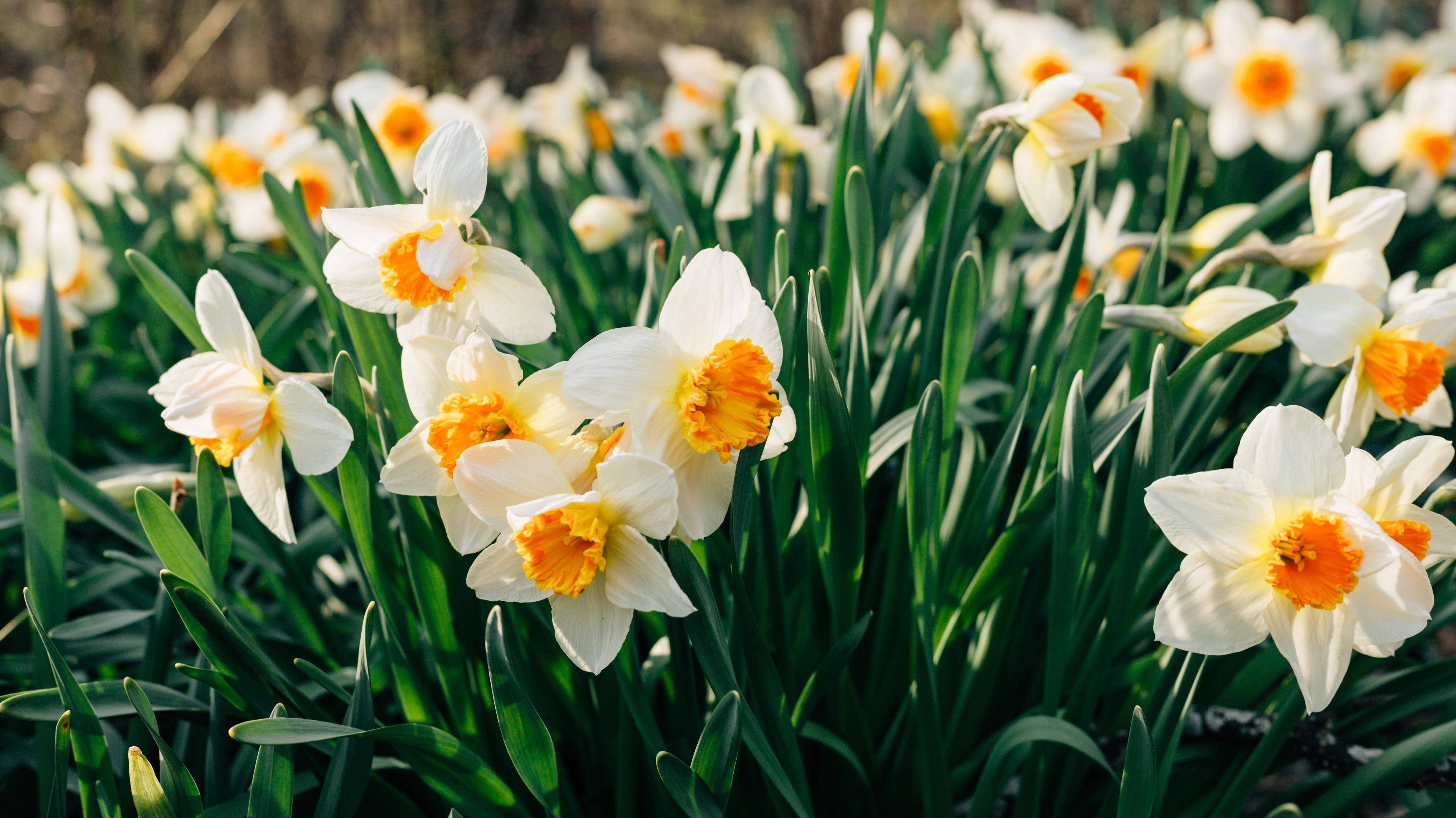 daffodils flowers flower bed 4k 1540064357 - daffodils, flowers, flower bed 4k - Flowers, flower bed, daffodils