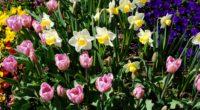 daffodils tulips flowerbed 4k 1540064801 200x110 - daffodils, tulips, flowerbed 4k - Tulips, flowerbed, daffodils