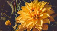 dahlia bud yellow blossom 4k 1540064485 200x110 - dahlia, bud, yellow, blossom 4k - yellow, Dahlia, bud