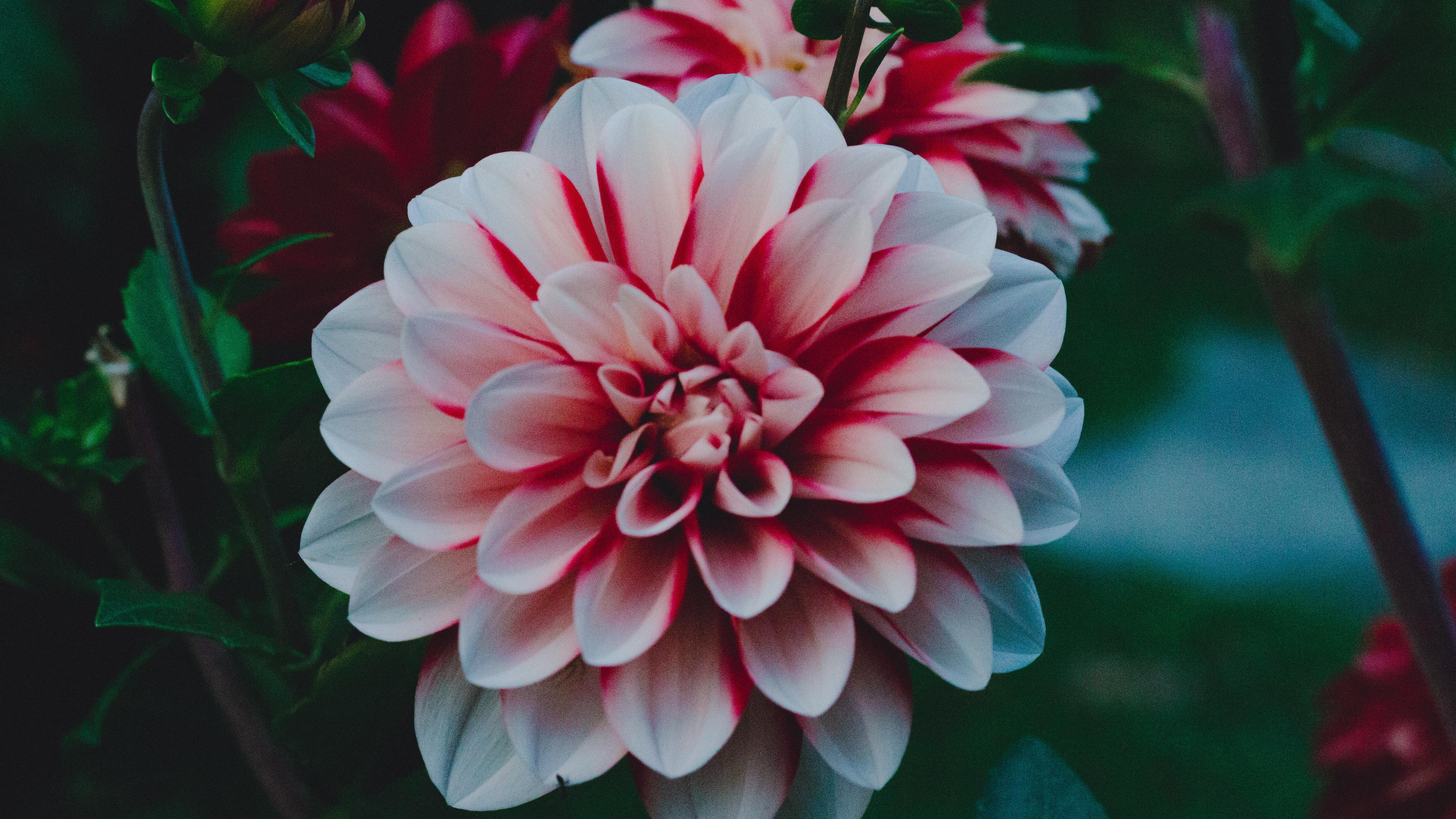 dahlia dahlia rebeccas world bud petals 4k 1540065032 - dahlia, dahlia rebeccas world, bud, petals 4k - dahlia rebeccas world, Dahlia, bud
