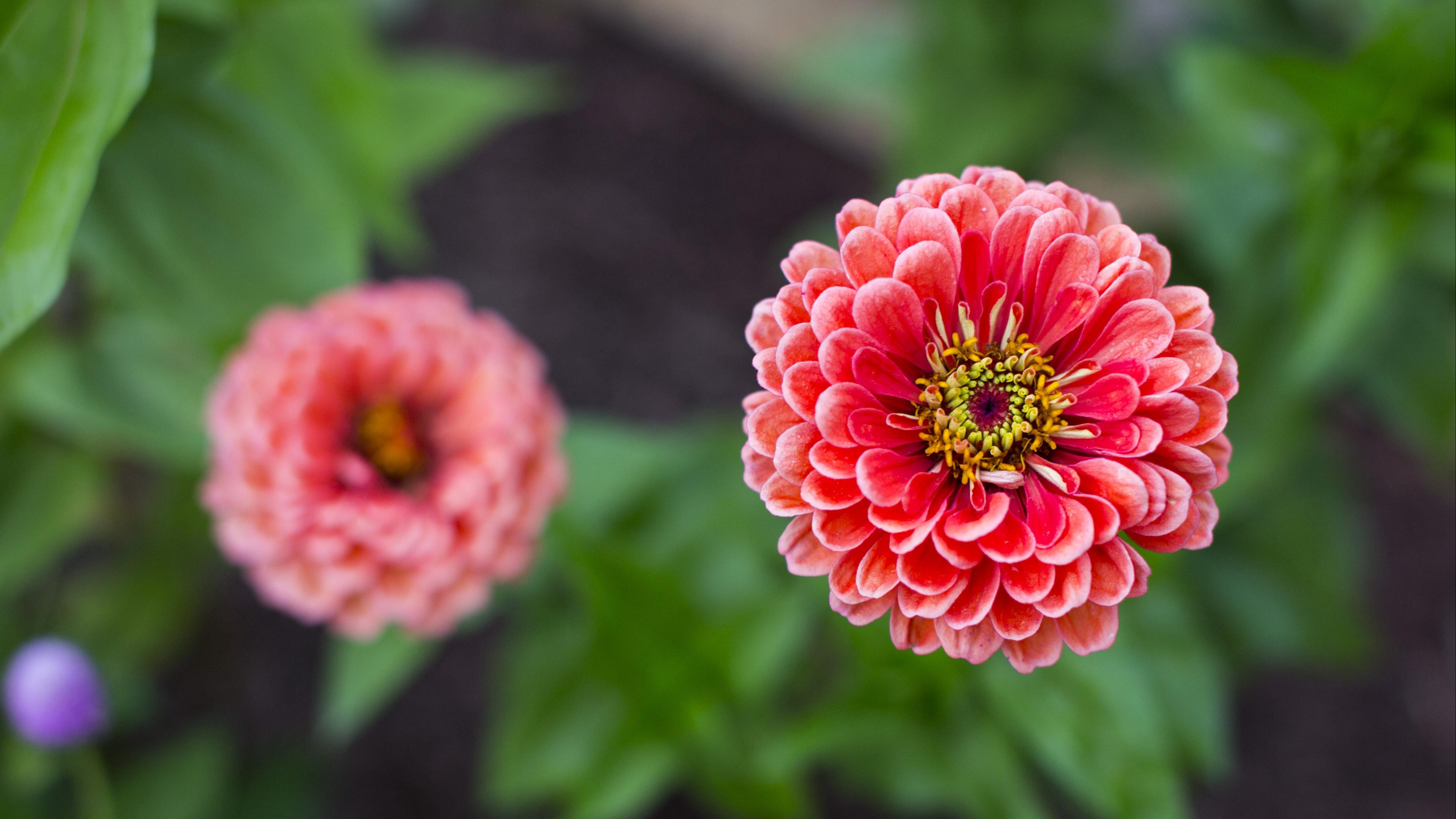 dahlias flower petals blur pink close up 4k 1540064403 - dahlias, flower, petals, blur, pink, close-up 4k - Petals, flower, dahlias