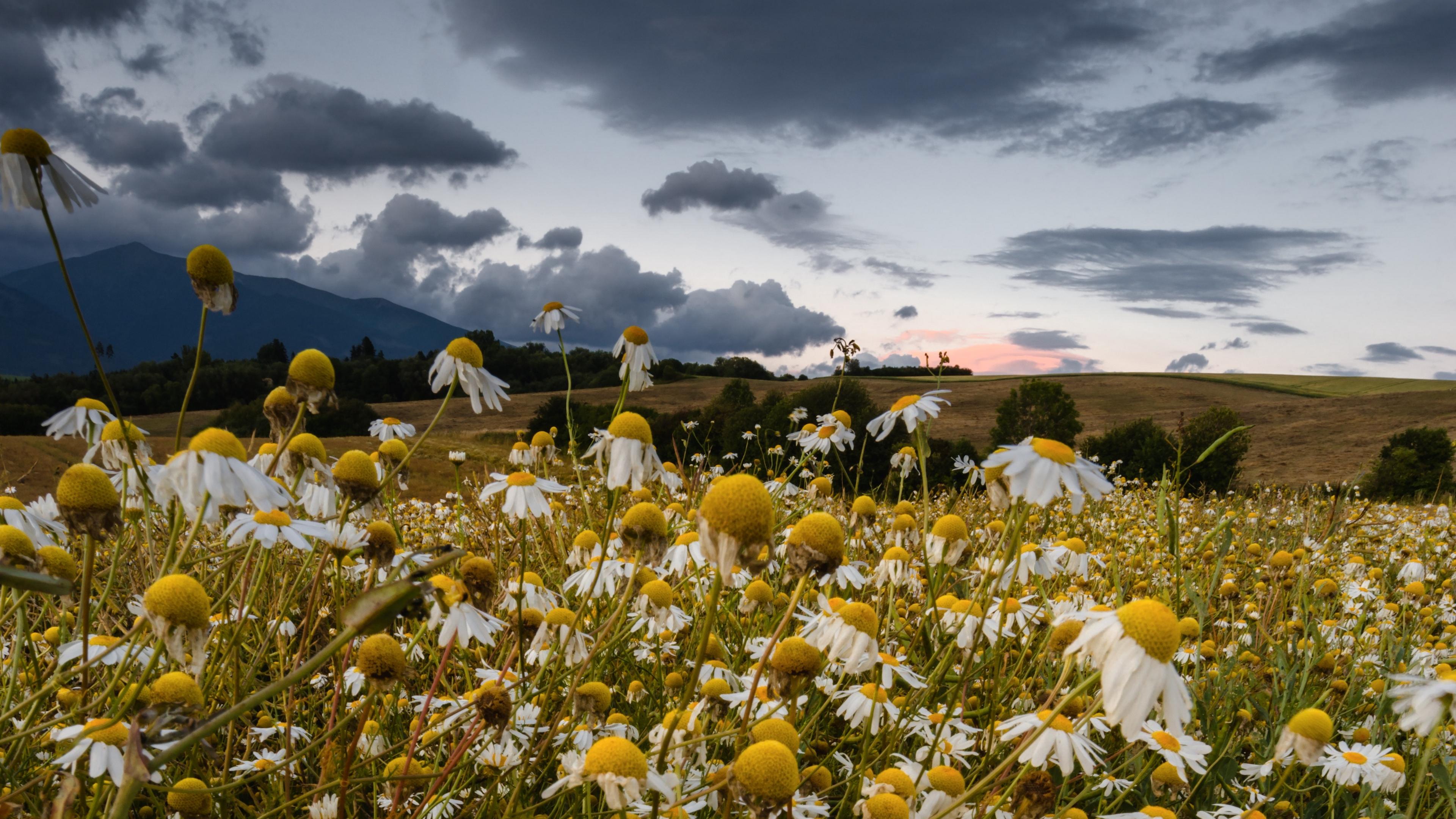 daisies field cloudy summer 4k 1540064942 - daisies, field, cloudy, summer 4k - Field, Daisies, Cloudy