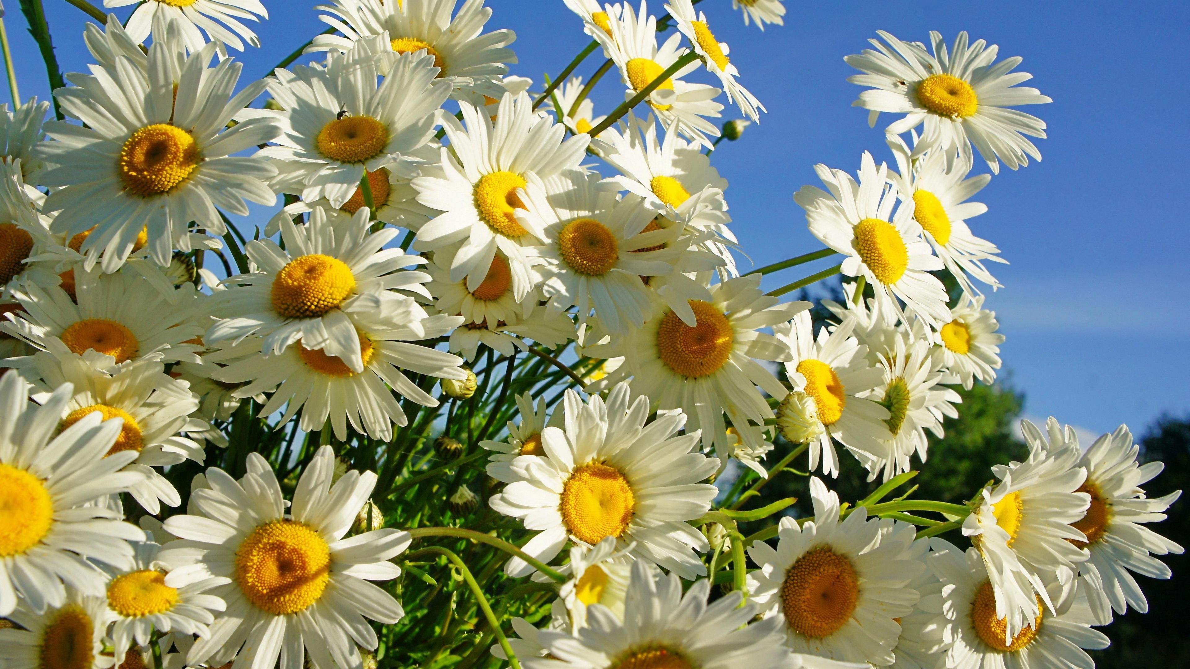 daisies flower sky sunny summer 4k 1540065157 - daisies, flower, sky, sunny, summer 4k - Sky, flower, Daisies