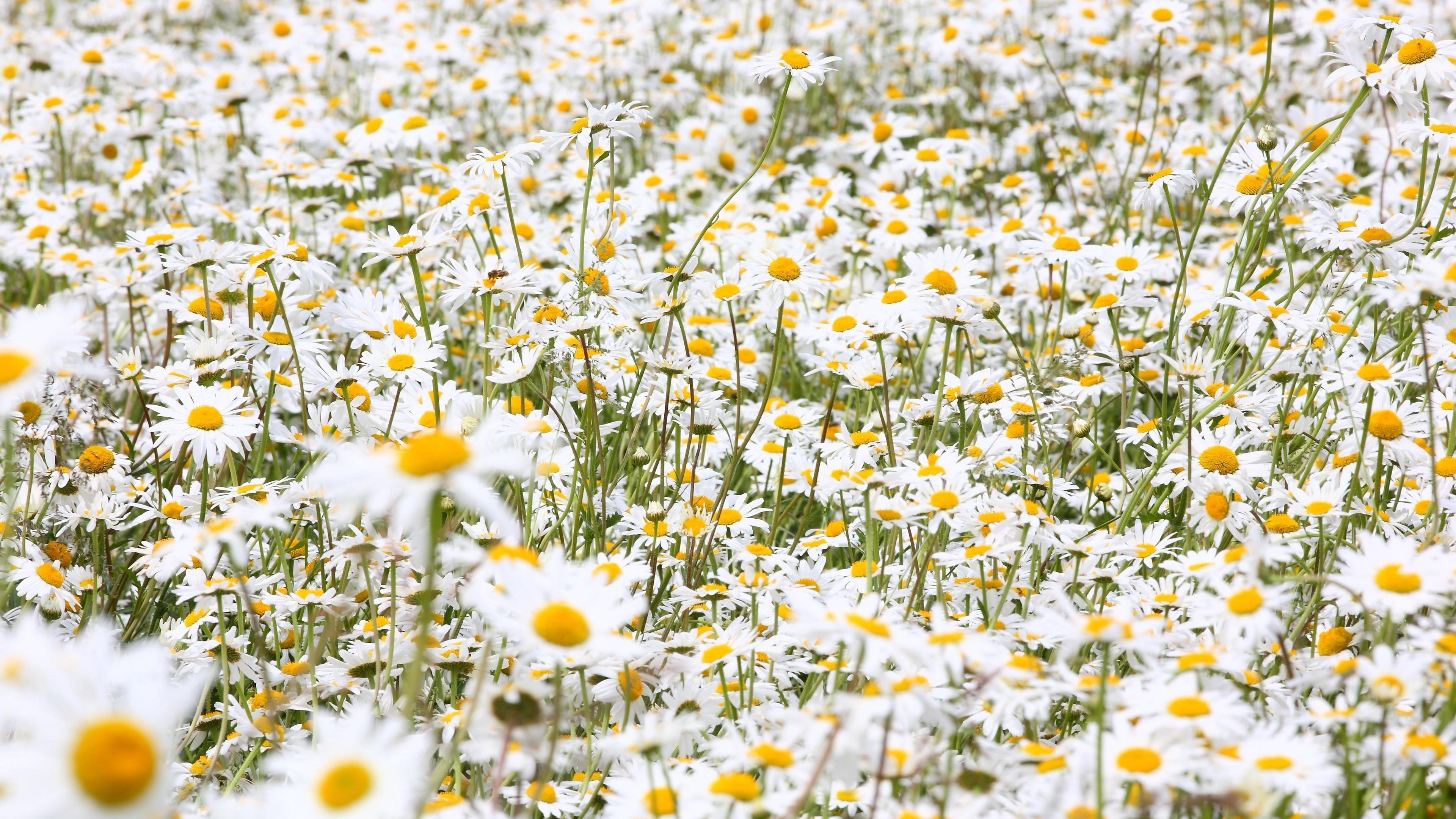 daisies flowers field many summer 4k 1540065044 - daisies, flowers, field, many, summer 4k - Flowers, Field, Daisies
