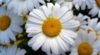 daisy flower petals field 4k 1540064879 200x110 - daisy, flower, petals, field 4k - Petals, flower, Daisy