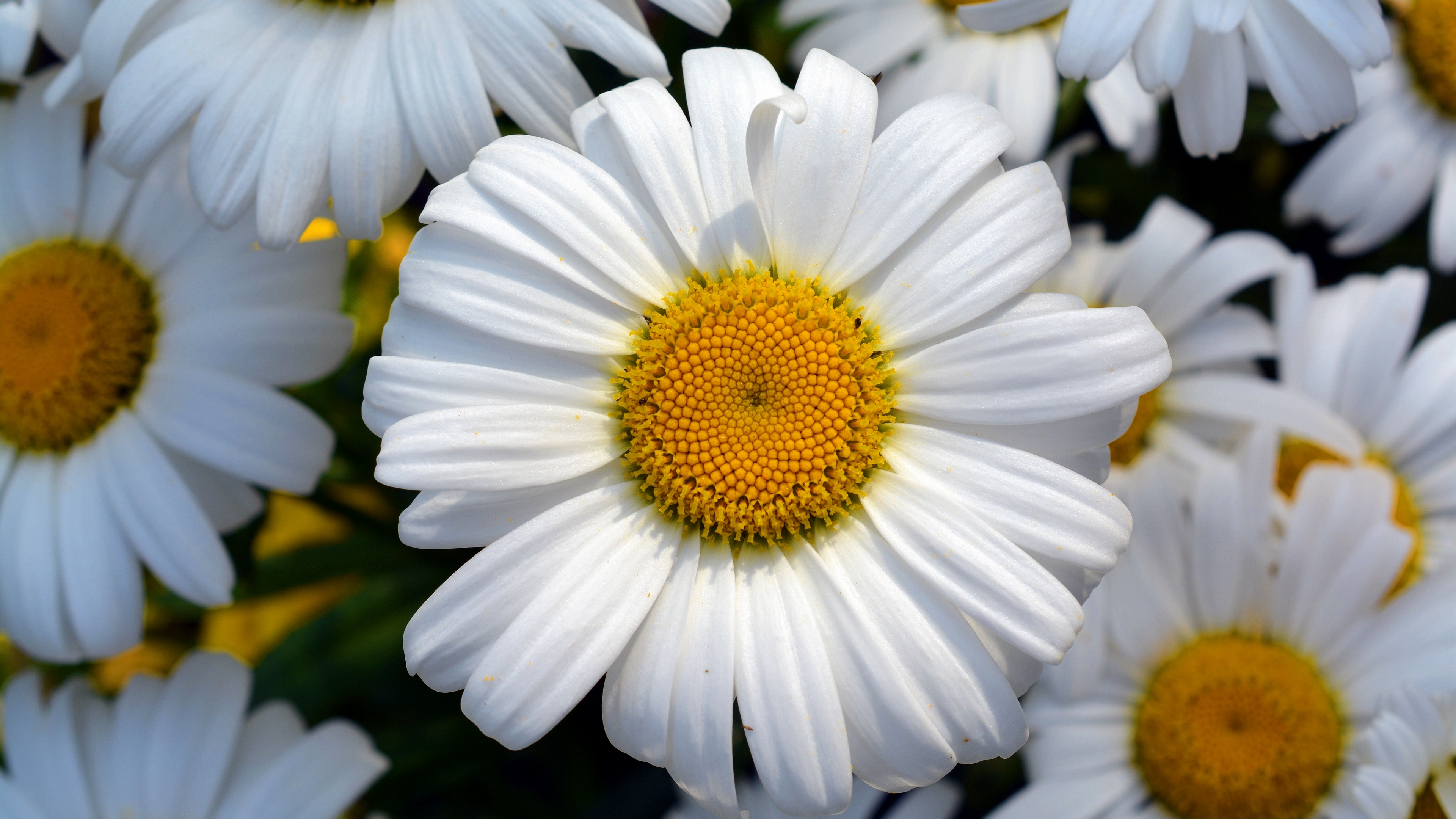 daisy flower petals field 4k 1540064879 - daisy, flower, petals, field 4k - Petals, flower, Daisy