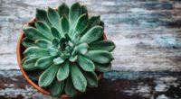 echeveria succulent pot 4k 1540065253 200x110 - echeveria, succulent, pot 4k - succulent, pot, echeveria