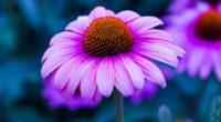 echinacea flower petals 4k 1540064369 200x110 - echinacea, flower, petals 4k - Petals, flower, echinacea