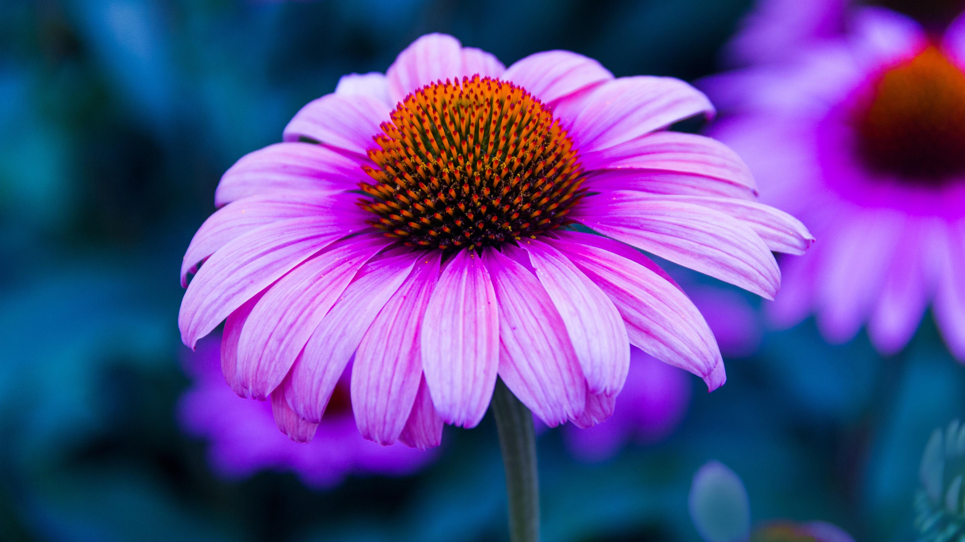 echinacea flower petals 4k 1540064369 - echinacea, flower, petals 4k - Petals, flower, echinacea