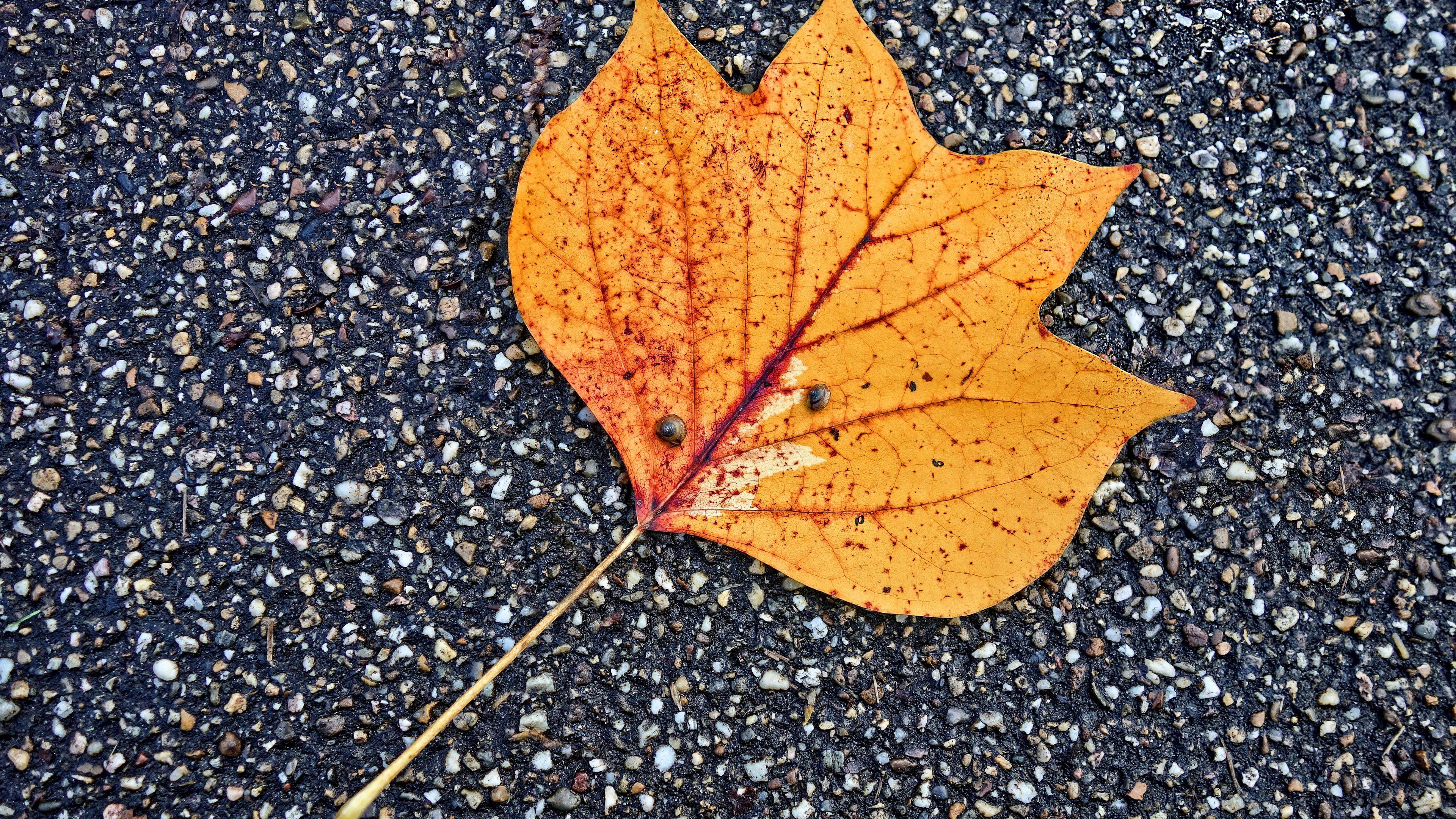 fallen leaf autumn 4k 1540134137 - Fallen Leaf Autumn 4k - nature wallpapers, leaf wallpapers, hd-wallpapers, fallen wallpapers, autumn wallpapers, 5k wallpapers, 4k-wallpapers