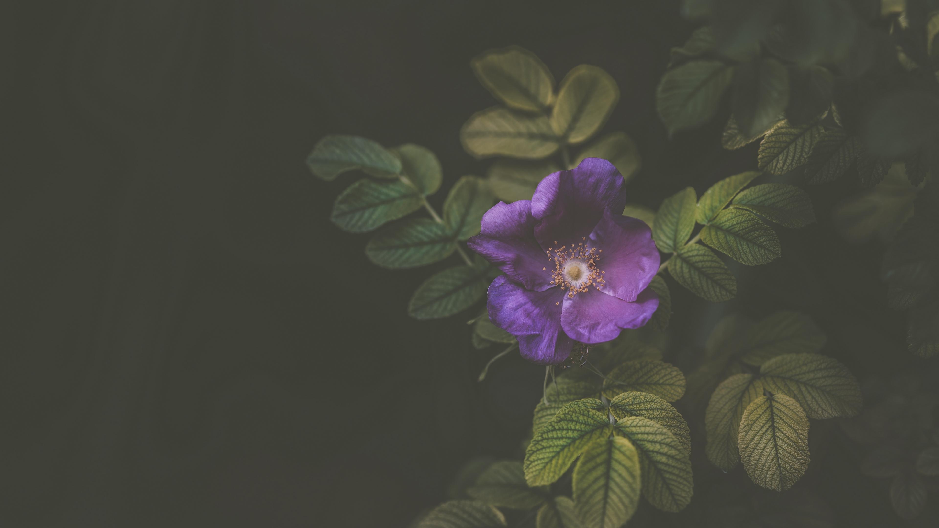 flower bush violet 4k 1540574368 - flower, bush, violet 4k - Violet, flower, Bush
