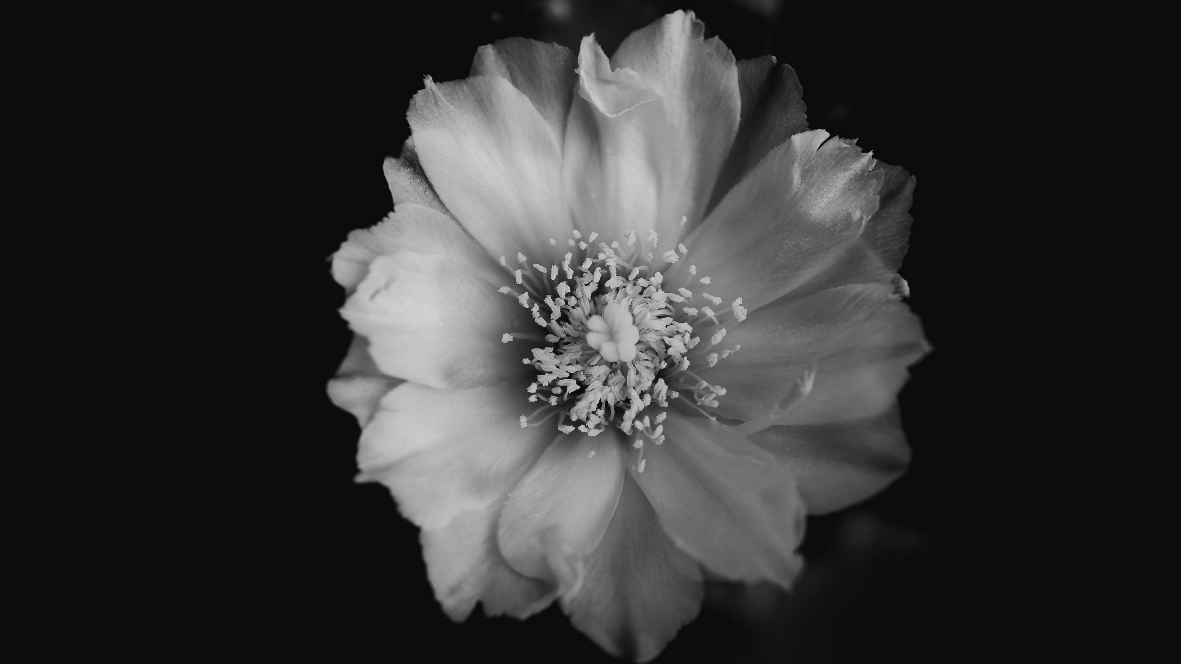 flower bw bud petals 4k 1540064562 - flower, bw, bud, petals 4k - flower, bw, bud