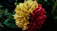 flower dahlia decorative 4k 1540065143 200x110 - flower, dahlia, decorative 4k - flower, decorative, Dahlia