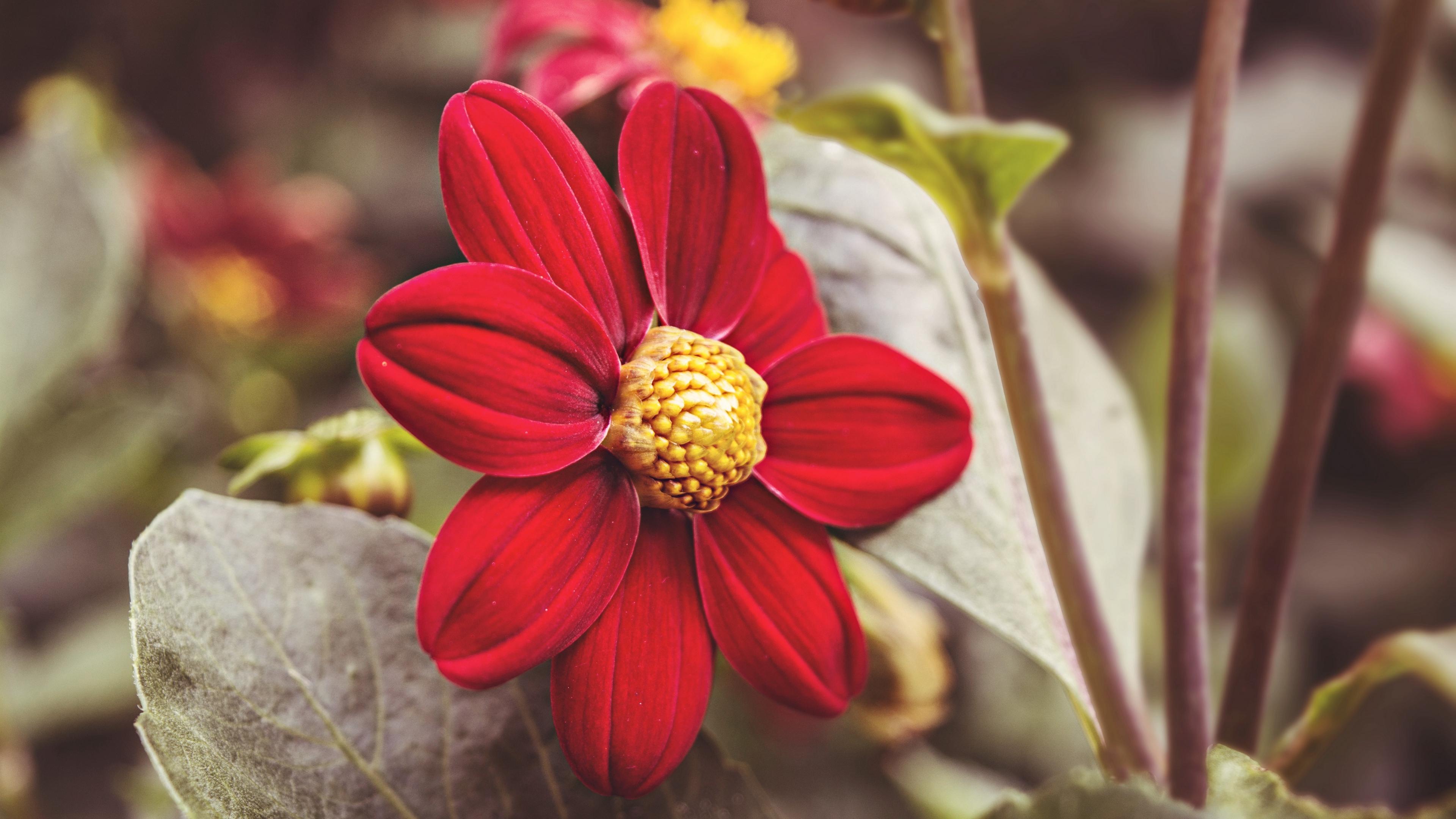 flower red petals close up 4k 1540064775 - flower, red, petals, close-up 4k - red, Petals, flower