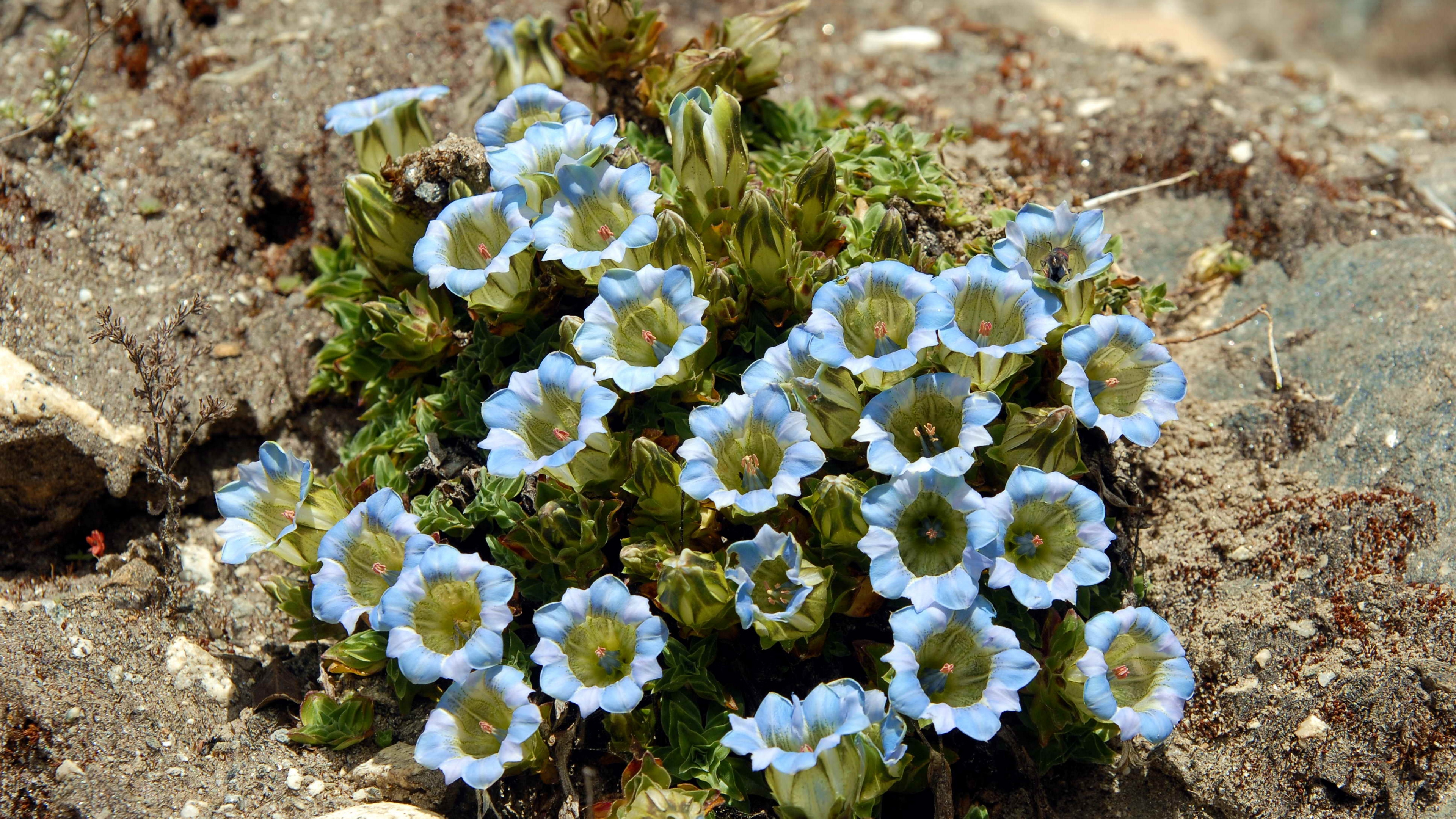 flowers blue stones close up 4k 1540064184 - flowers, blue, stones, close-up 4k - Stones, Flowers, blue