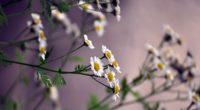 flowers daisies blurring 4k 1540065261 200x110 - flowers, daisies, blurring 4k - Flowers, Daisies, blurring