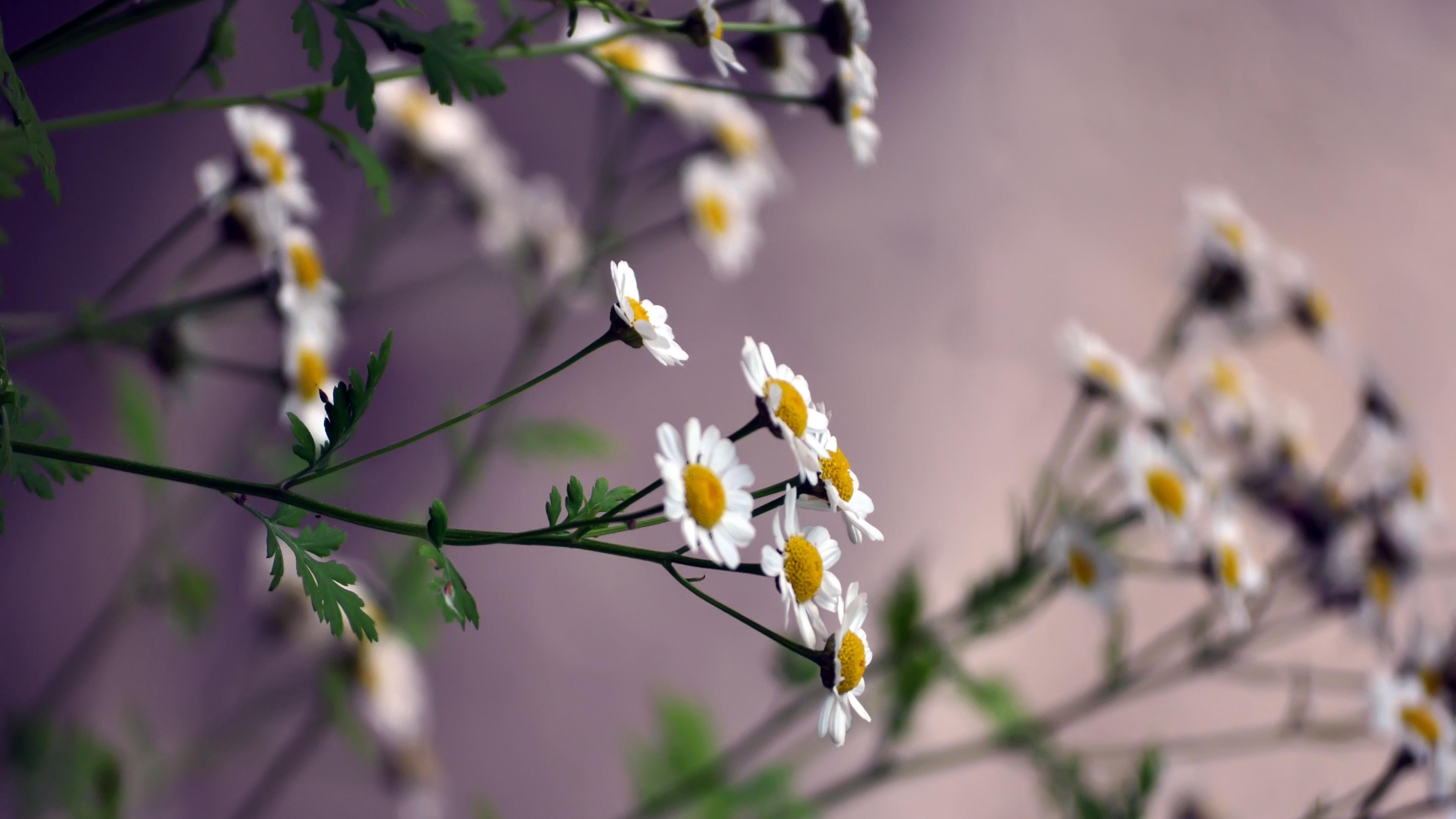 flowers daisies blurring 4k 1540065261 - flowers, daisies, blurring 4k - Flowers, Daisies, blurring