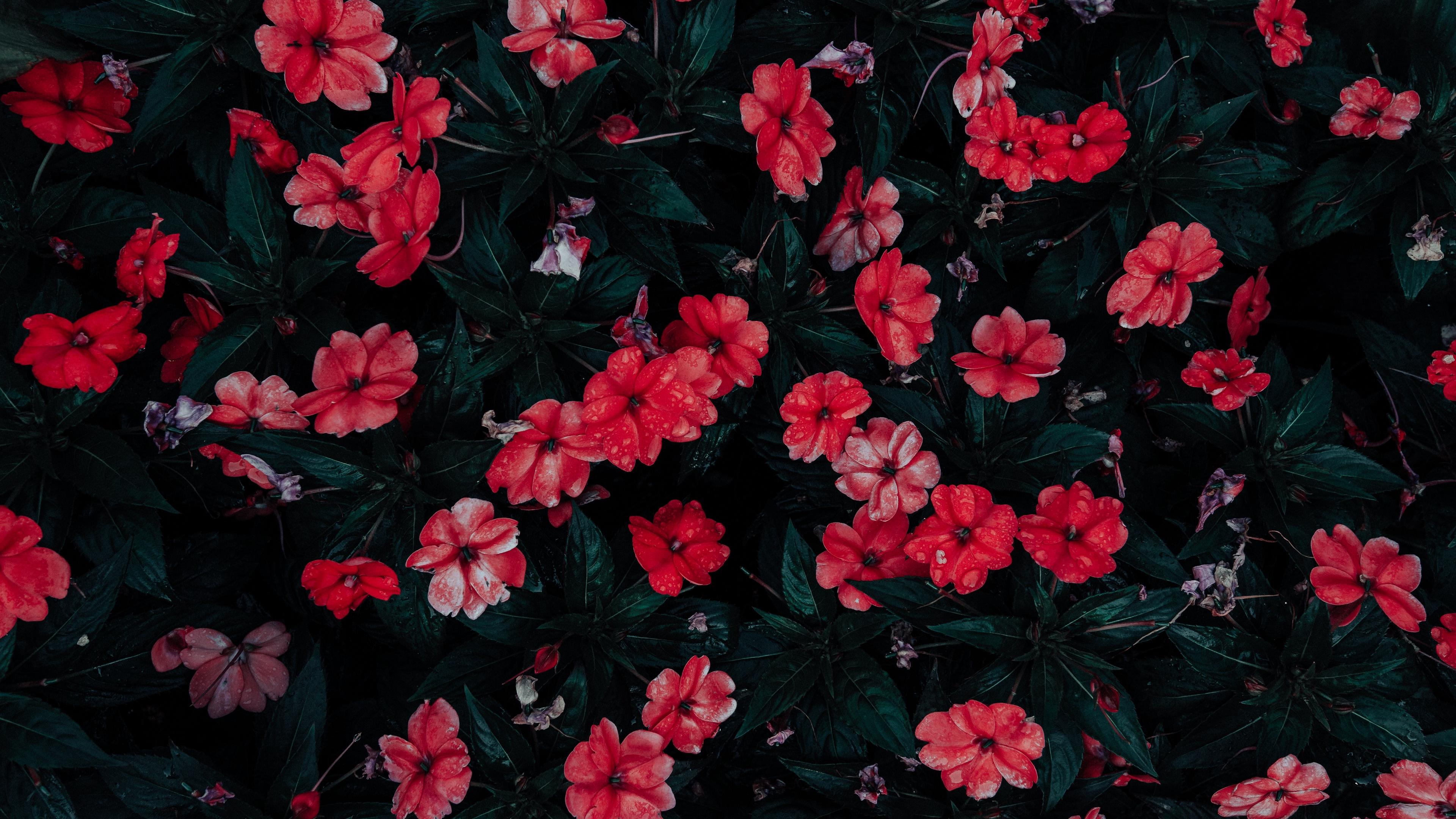 flowers drops red bloom flowerbed 4k 1540064912 - flowers, drops, red, bloom, flowerbed 4k - red, Flowers, Drops