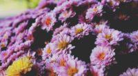 flowers petals lilac 4k 1540064353 200x110 - flowers, petals, lilac 4k - Petals, Lilac, Flowers