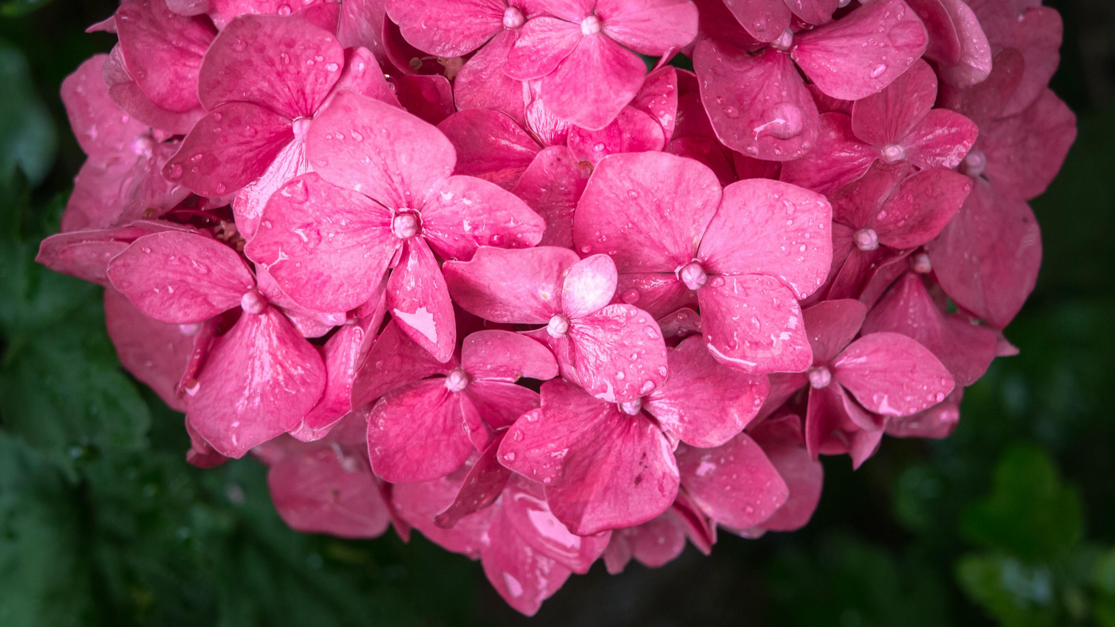 flowers petals pink drops 4k 1540064725 - flowers, petals, pink, drops 4k - Pink, Petals, Flowers