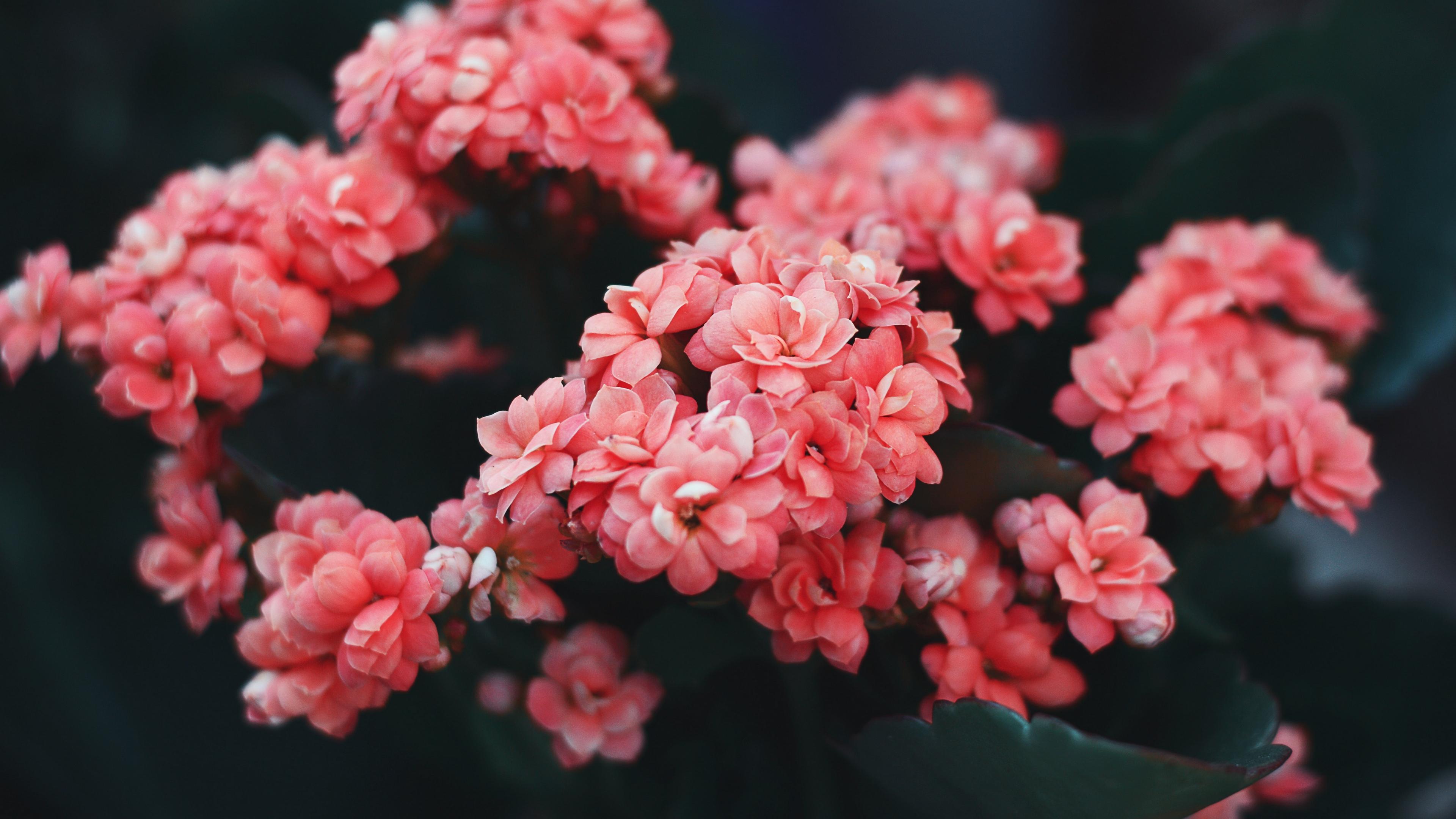 flowers pink bloom bush wild flower 4k 1540065147 - flowers, pink, bloom, bush, wild flower 4k - Pink, Flowers, Bloom