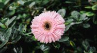 gerbera dew bud petals 4k 1540064489 200x110 - gerbera, dew, bud, petals 4k - Gerbera, dew, bud