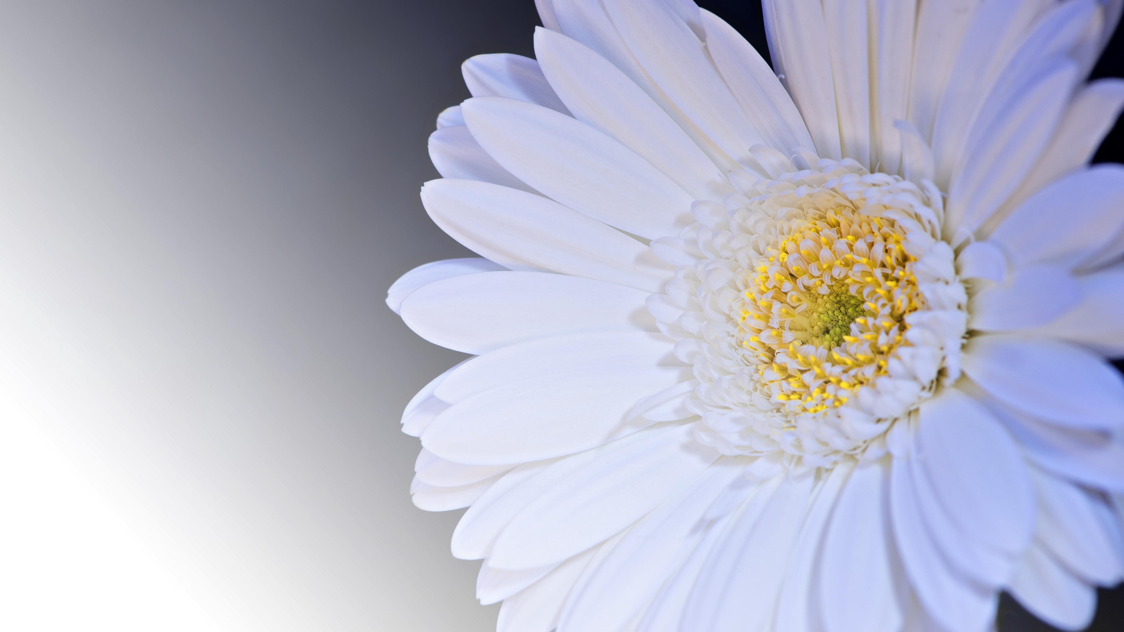 gerbera flower petals white 4k 1540064733 - gerbera, flower, petals, white 4k - Petals, Gerbera, flower