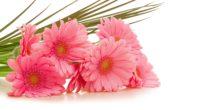 gerbera flowers bouquet pink green 4k 1540064891 200x110 - gerbera, flowers, bouquet, pink, green 4k - Gerbera, Flowers, Bouquet