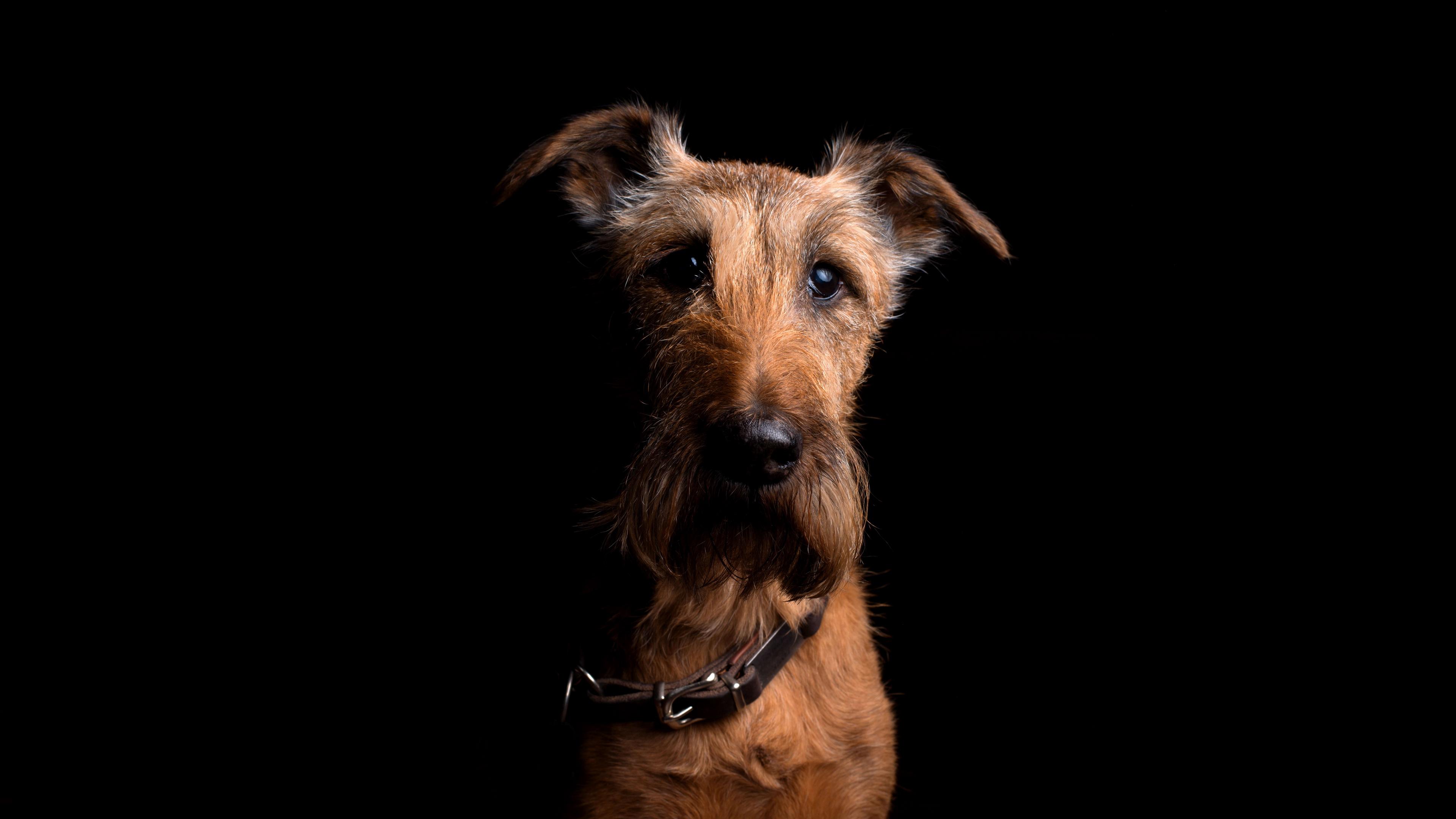 irish terrier dog muzzle collar look 4k 1540575108 - irish terrier, dog, muzzle, collar, look 4k - muzzle, irish terrier, Dog