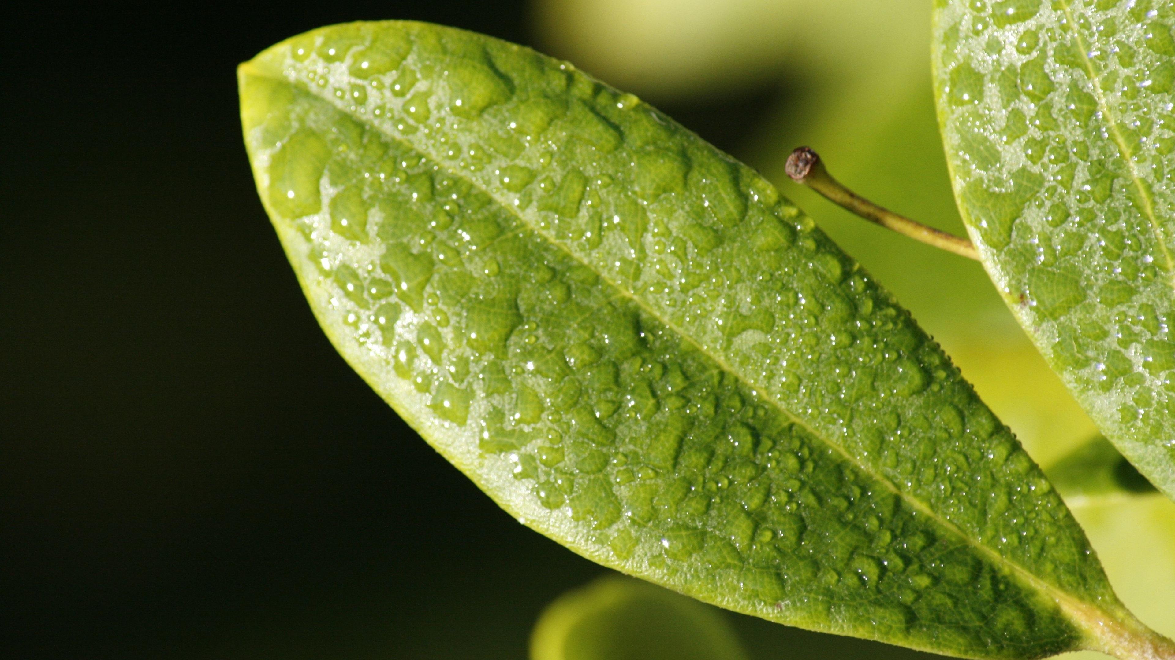 leaf drop dew surface 4k 1540131100 - Leaf Drop Dew Surface 4k - nature wallpapers, macro wallpapers, leaf wallpapers, drop wallpapers