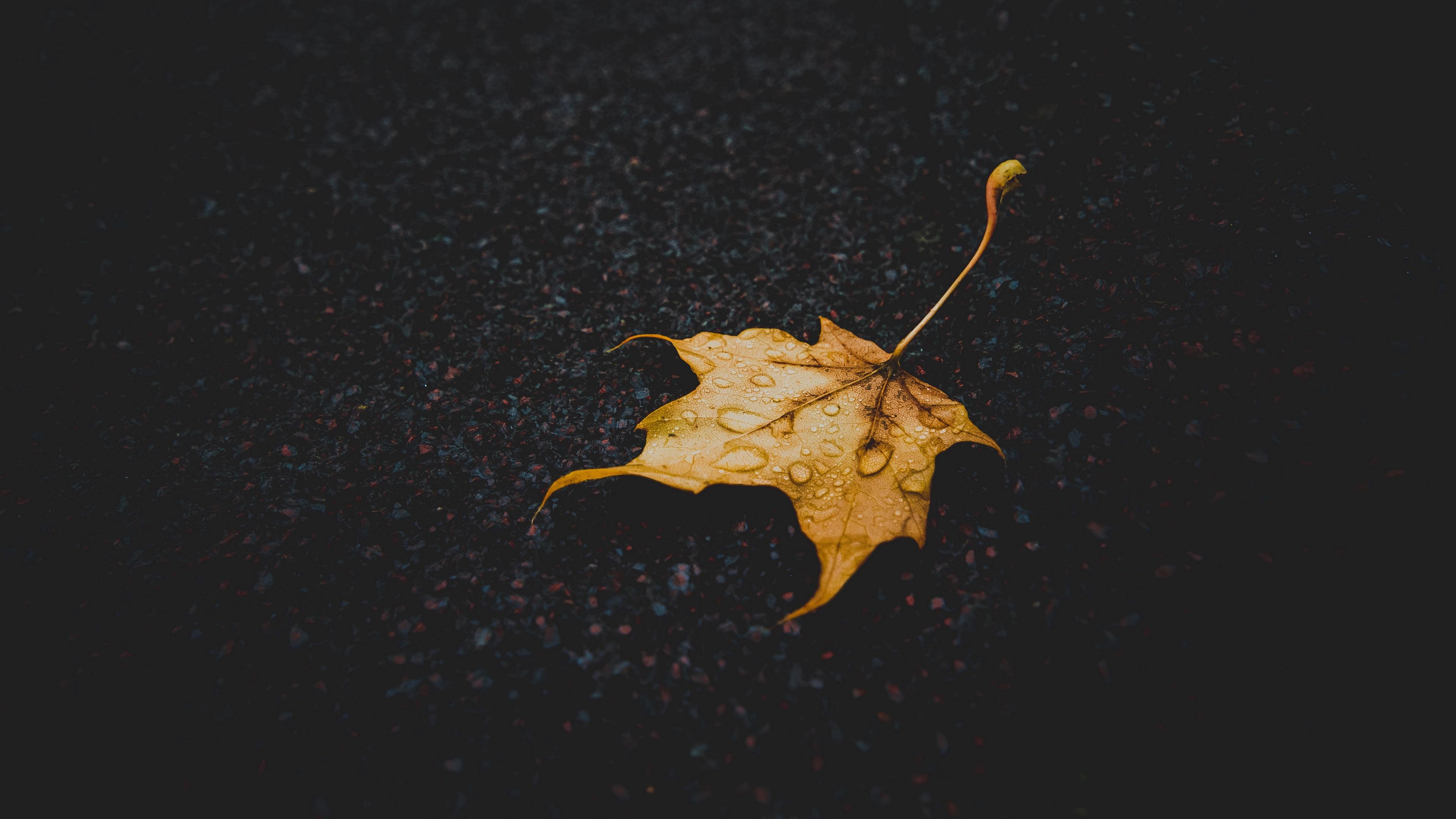 leaf maple dry fallen drops 4k 1540576133 - leaf, maple, dry, fallen, drops 4k - Maple, leaf, dry