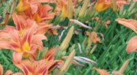 lilies flowers flowerbed green summer 4k 1540064141 200x110 - lilies, flowers, flowerbed, green, summer 4k - Lilies, Flowers, flowerbed