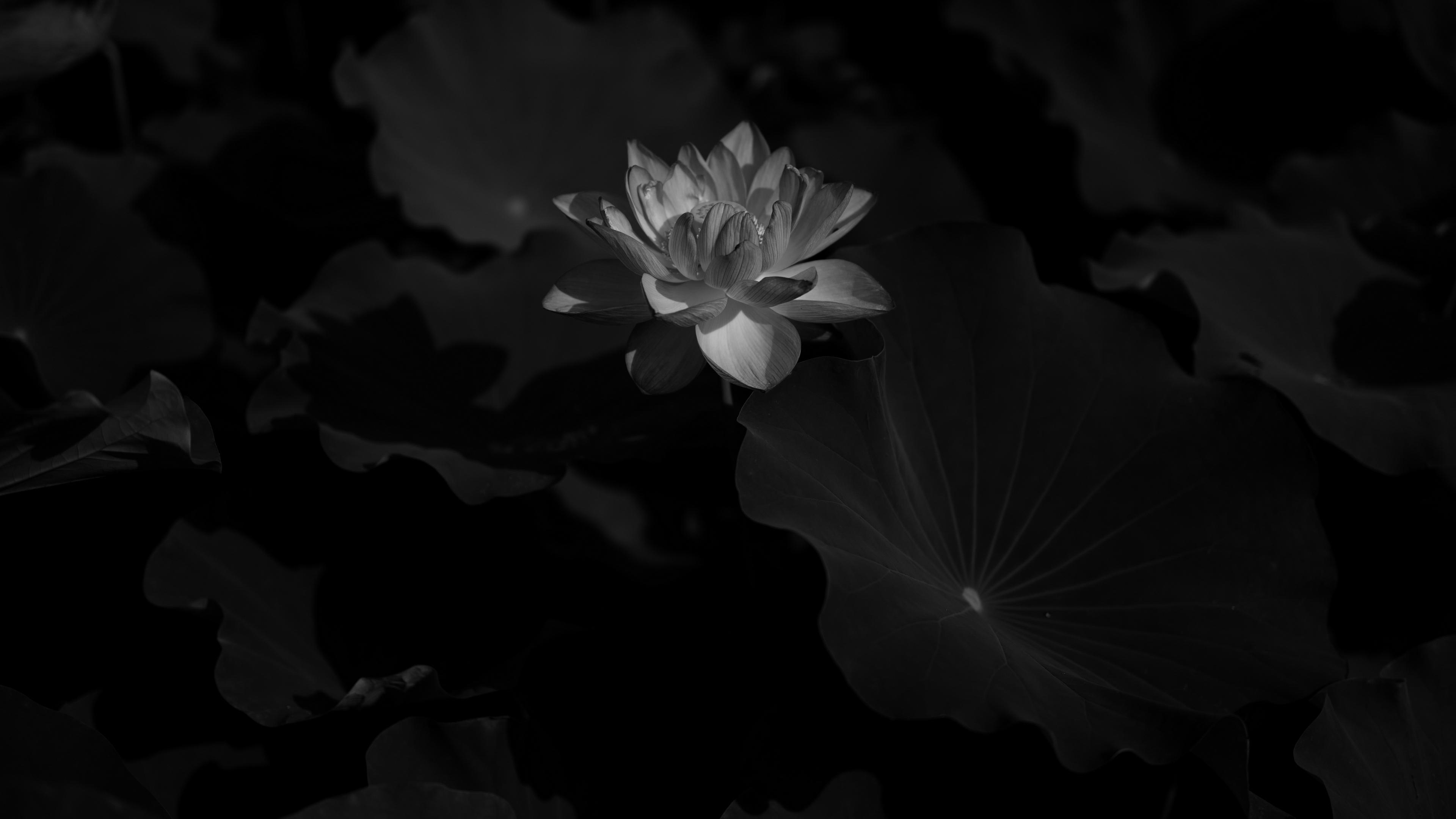 lotus bw bloom flower leaves 4k 1540575933 - lotus, bw, bloom, flower, leaves 4k - Lotus, bw, Bloom