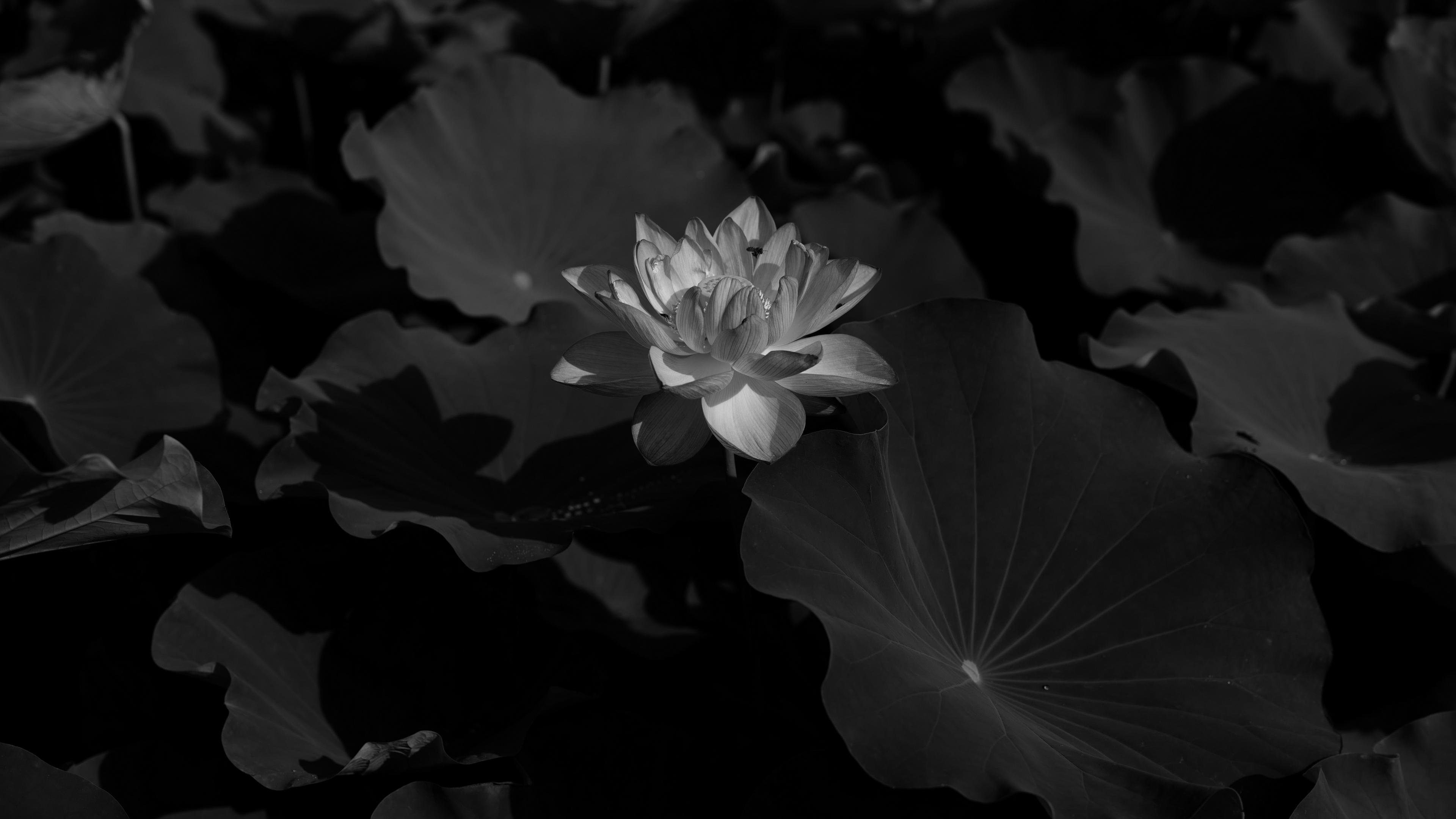 lotus bw leaves blossoms 4k 1540575169 - lotus, bw, leaves, blossoms 4k - Lotus, Leaves, bw