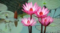 lotus water lily water 4k 1540065153 200x110 - lotus, water lily, water 4k - water-lily, Water, Lotus