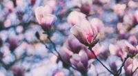 magnolia pink branches blossom 4k 1540064366 200x110 - magnolia, pink, branches, blossom 4k - Pink, magnolia, branches
