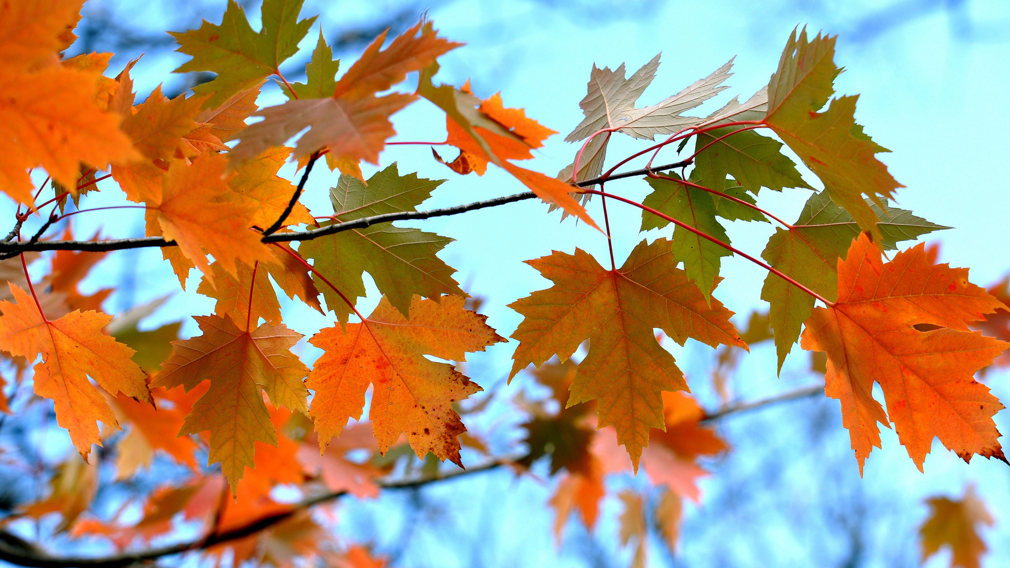 maple leaves branches 4k 1540131092 - Maple Leaves Branches 4k - nature wallpapers, leaves wallpapers